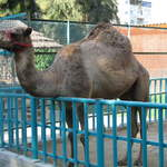 Clive the camel